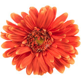 Orange Giant Gerbera Daisy Stem